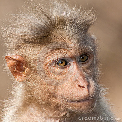 Bonnet Macaque Portrait