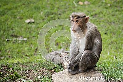 Bonnet Macaque Waiting alongside Road