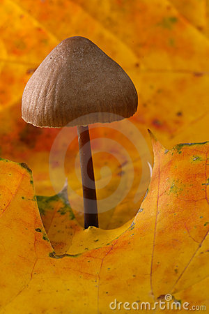 Bonnet Mushroom in Autumn Leaves