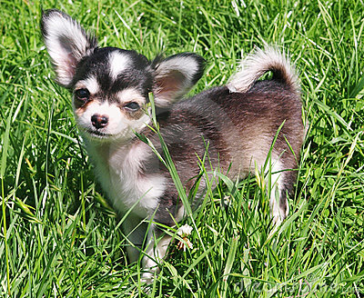 Bonny the Chihuahua Pup on Grass