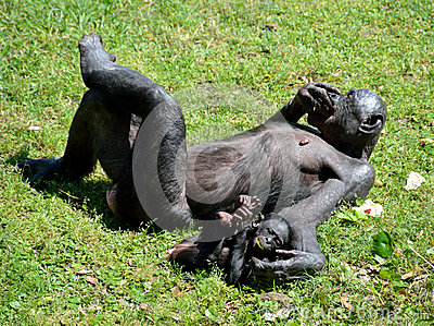 Bonobo ape with baby