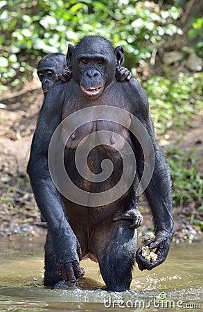 bonobo der auf ihren beinen im wasser mit einem jungen auf einer r ckseite steht das bonobo pan. Black Bedroom Furniture Sets. Home Design Ideas