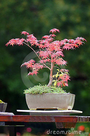 Free Bonsai Stock Image - 1377811