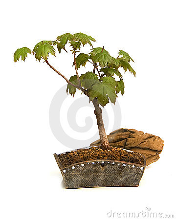 Free Bonsai Stock Image - 2305981