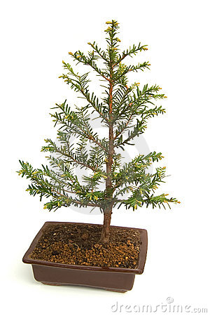 Free Bonsai Royalty Free Stock Photos - 2305988