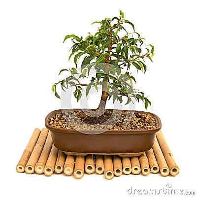 Free Bonsai Royalty Free Stock Photo - 2305995