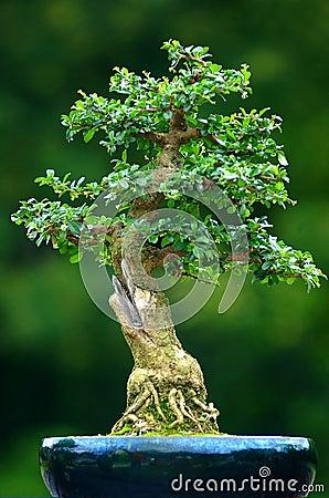 Free Bonsai Royalty Free Stock Photography - 584487