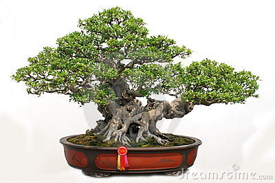 Bonsai banyan