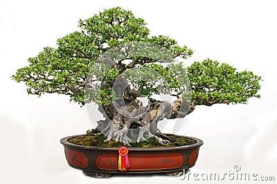 Bonsai of banyan