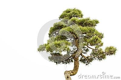A bonsai of banyan