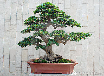 The bonsai of banyan in pot
