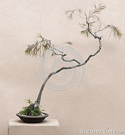 bonsai baum mit verdrehtem stamm stockfoto bild 47954327. Black Bedroom Furniture Sets. Home Design Ideas