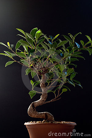Bonsai on Black