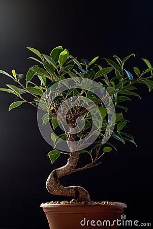 Bonsai on Black