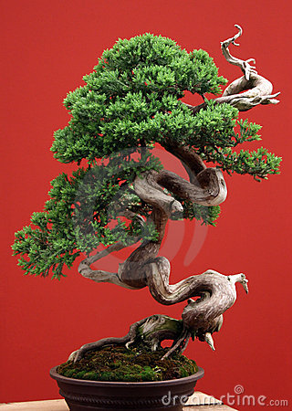 Bonsai conifer