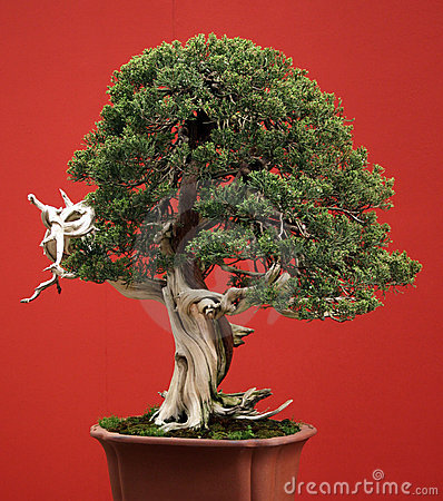 Bonsai conifer