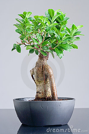 Bonsai in greyish cup