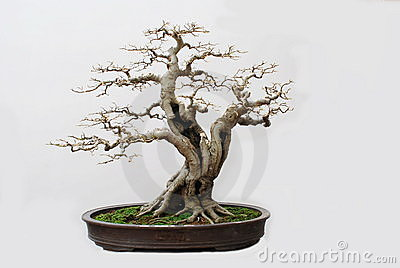 The bonsai of hackberry