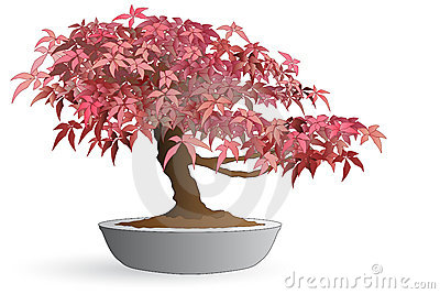 Bonsai of japanese maple