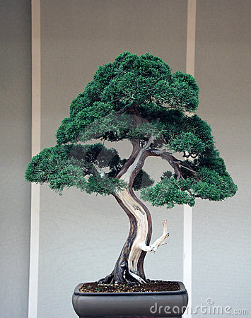 Bonsai Juniperus Chinensis Stock Photo - Image: 19954400