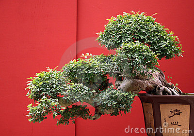 Bonsai old with traditional japan pot