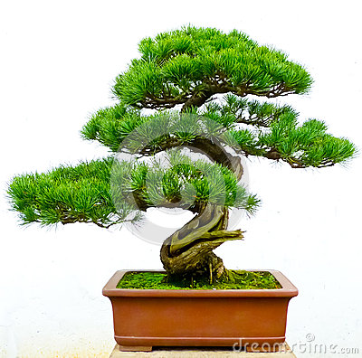 Free Bonsai Pine Tree Stock Images - 28668154