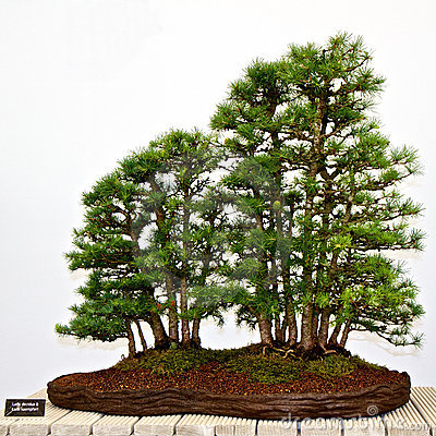 Bonsai pine trees