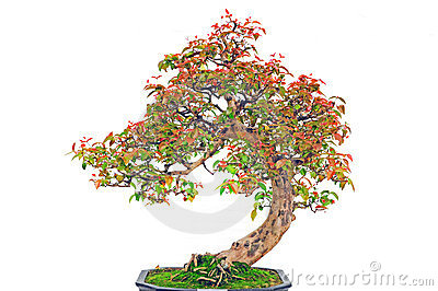 Bonsai Plant Stock Image - Image: 24008641