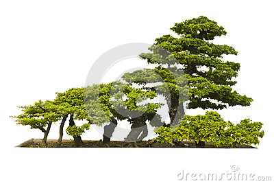 Bonsai plant on white background
