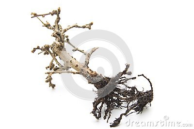 Bonsai with root
