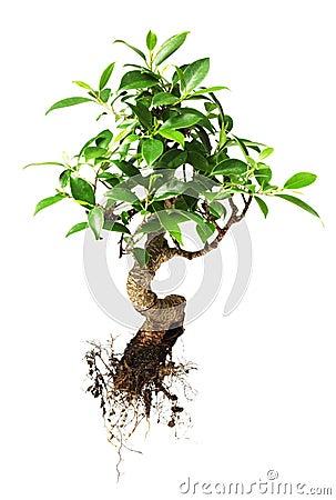 Free Bonsai Tree Stock Images - 25018614