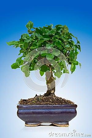 Free Bonsai Tree Stock Image - 3171821