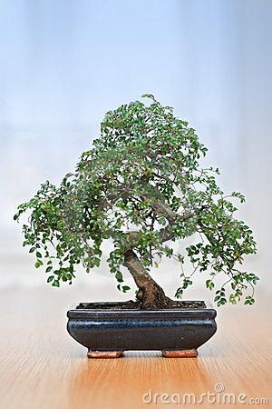 Free Bonsai Tree Stock Images - 5594794