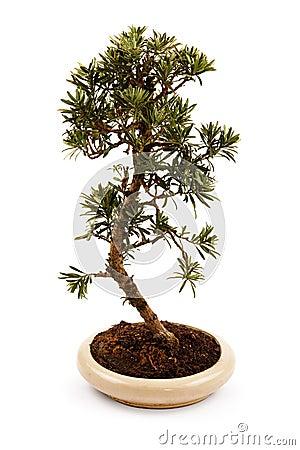 Free Bonsai Tree In A Pot Stock Photo - 38246210