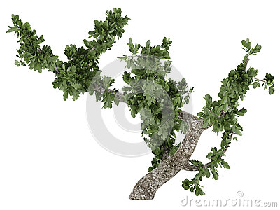 Bonsai tree isolated
