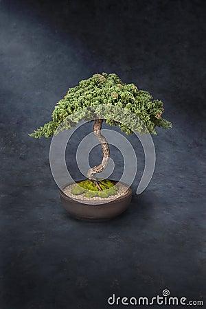 Bonsai Tree Knowledge Wisdom