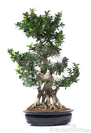 Bonsai Tree Plant Royalty Free Stock Photos - Image: 16583698