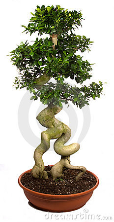 Bonsai tree potted plants