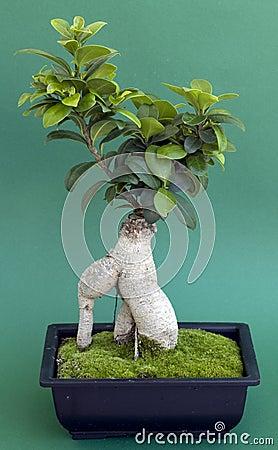 Free Bonsai Tree With Moss Stock Image - 9414321
