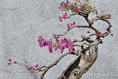 Bonsail tree av bougainvilleaen