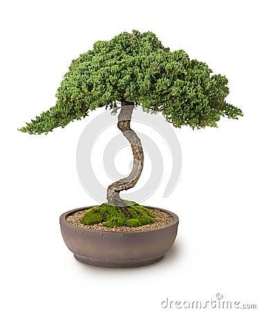 Bonsais-Baum