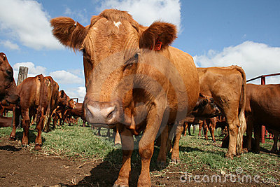 Bonsmara cow in South Africa