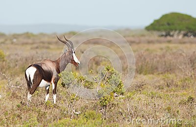 Bontebok Side View