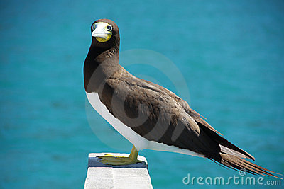 Booby bird yellow footed