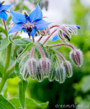Free Borage Stock Photo - 15392650