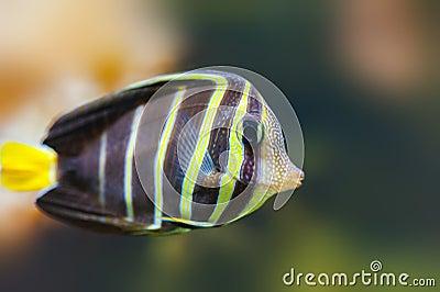 Borboleta-peixes tropicais bonitos dos peixes