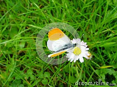 A borboleta vai margarida