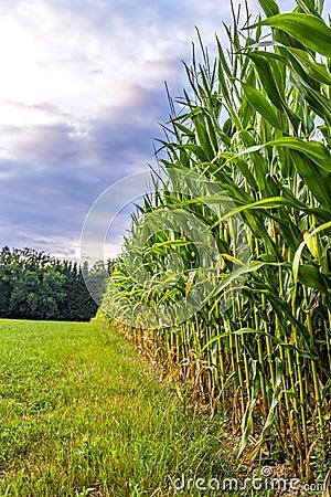 Borde del campo de maíz