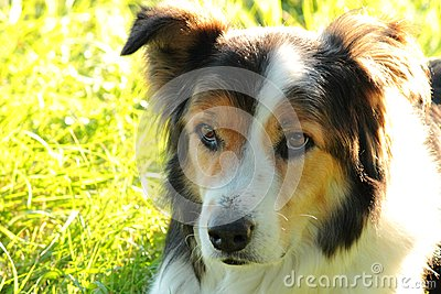 Border Collie 3