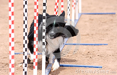 Border Collie agility poles